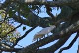 White cockatoo at Warumbul picnic  area Royal National Park