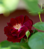 A rose from our rose bush.