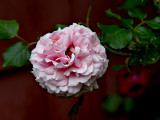Another rose from our rosebush.