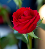 A rose for Anne