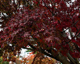 Our Japaneses Maple Tree