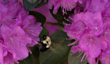 Bee and rhododendrons