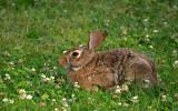 Rabbit in the clover.