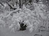 Japanese Maple in winter storm