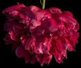 Peony - In sunlight after a shower