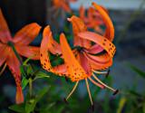 Flowers of Saratoga Springs