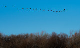 Geese in winter