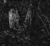 Tree stump in B&W
