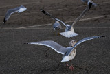 Ballet of the Seagulls