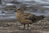 Grote Jager / Great Skua