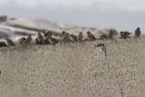 mussen / sparrows