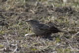 Rotsmus - Rock Sparrow