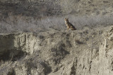 Gewone Jakhals - Golden Jackal - Canis aureus