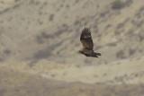 Steppearend - Steppe Eagle
