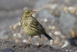 Oeverpieper / Rock Pipit
