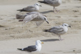 Thayers Meeuw / Thayer's Gull