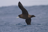 Witkinstormvogel - White-chinned Petrel - Procellaria aequinoctialis