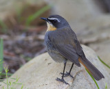 Kaapse Lawaaimaker - Cape Robin-chat - Cossypha caffra