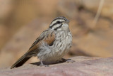 Kaapse Gors - Cape Bunting - Emberiza capensis