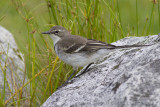 Kaapse Kwikstaart - Cape Wagtail - Motacilla capensis