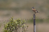Aardtapuit - Capped Wheatear - Oenanthe pileata
