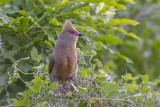 Roodwangmuisvogel - Red-faced Mousebird - Urocolius indicus