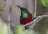Grote Kraaghoningzuiger - Greater Doube-collared Sunbird - Cinnyris afer