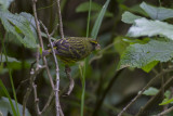 Boskanarie - Forest Canary - Serinus scotops