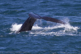 Zuidkaper - Southern Right Whale - Eubalaena australis