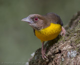 Woudwever - Forest Weaver - Ploceus bicolor
