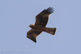 Dwergarend - Booted Eagle