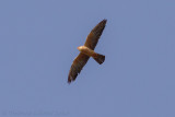 Rootpootvalk - Red-footed Falcon