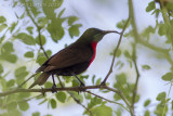 Roodborsthoningzuiger - Scarlet-chested Sunbird - Chalcomitra senegalensis