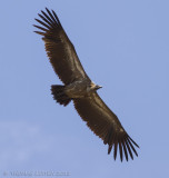 Witruggier - White-backed Vulture - Gyps africanus