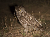 Afrikaanse Oehoe - Spotted Eagle Owl - Bubo africanus