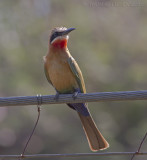 Witkapbijeneter - White-fronted Bee-eater - Merops bullockoides