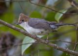 Roodkuifmeestimalia - Chestnut-crested Yuhina - Staphida everetti