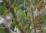 Bergbaardvogel - Mountain Barbet - Megalaima monticola