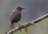 Borneose Fluitlijster - Borneon Whistling Thrush - Myophonus borneensis