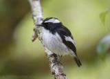 Little Pied Flycatcher - Ekstervliegenvanger - Ficedula westermanni