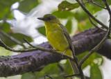 Borneofluiter - Bornean Whistler - Pachycephala hypoxantha