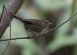 Soendastruikzanger - Sunda Bush Warbler - Horornis vulcanius