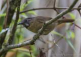 Grijskeelboomtimalia - Grey-throated Babbler - Stachyris nigriceps