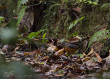 Everetts Lijster - Everett's Thrush - Zoothera everetti