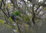 Zwartkeelsmaragdbreedbek - Whitehead's Broadbill - Calyptomena whiteheadi