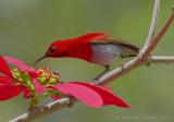 Temmincks Honingzuiger - Temminck's Sunbird - Aethopyga temminckii