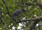 Zwartmaskerrupsvogel - Sunda Cuckoo-shrike - Coracina larvata