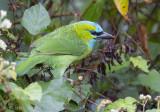 Goudnekbaardvogel - Golden-naped Barbet - Megalaima pulcherrima