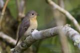 Mugimakivliegenvanger - Mugimaki Flycatcher - Ficedula mugimaki