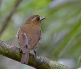 Kinabalujunglevliegenvanger - Eyebrowed Jungle-flycatcher - Rhinomyias gularis
